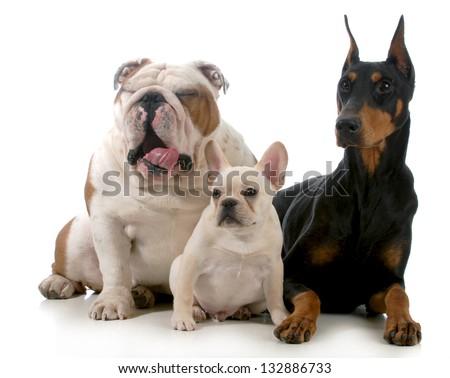 three dogs together isolated on white background - english bulldog, french bulldog, doberman pinscher - stock photo