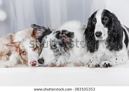 Three dogs together. Two dog breeds border collie and one Russian Spaniel, lay on a bed in white room. - stock photo