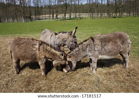three donkeys on the hay - stock photo