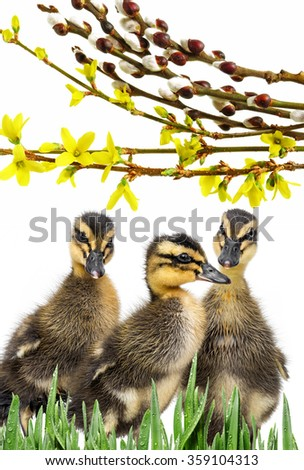 three ducklings ( indian runner duck) isolated on a white background - stock photo