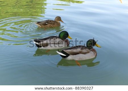 Three ducklings swimming in a park together - stock photo