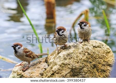 Three eurasian tree sparrow on stone,three funny birds - stock photo
