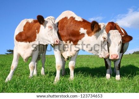 three flirting cows - stock photo