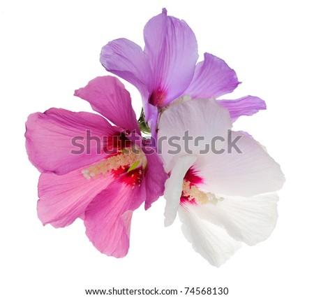 three flowers isolated on white background - stock photo