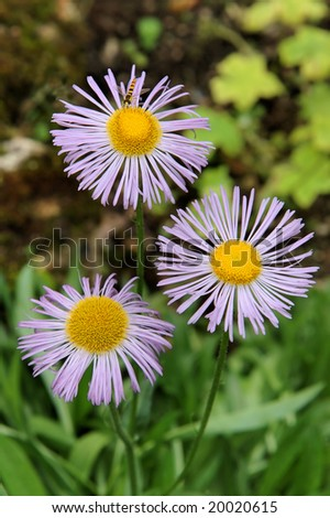 Three flowers of an Aster alpinuser on one flower sits the striped fly similar to a bee - stock photo