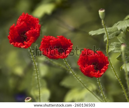 Three flowers of red poppies on green grass beautiful sunny spring, summer day. Poppies in the field, in the garden, in the park, outdoor. small format - stock photo