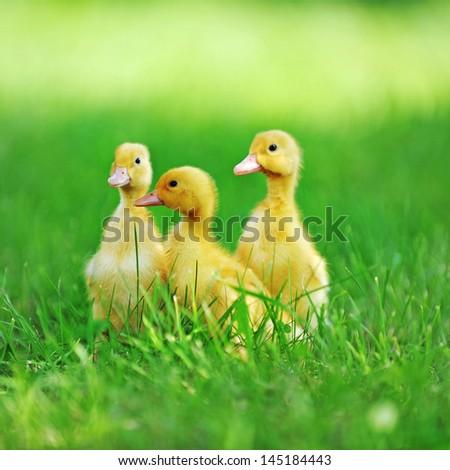 three fluffy chicks walks  in green grass - stock photo