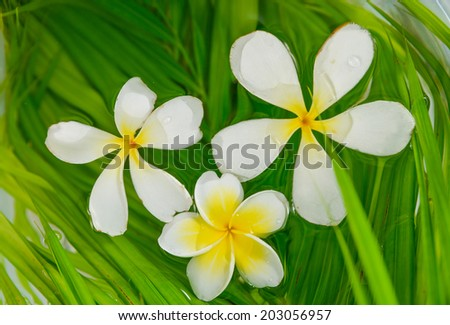 Three frangipani with palm leaf in water - stock photo