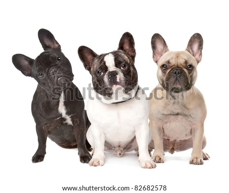 three French Bulldogs in a row on a white background - stock photo