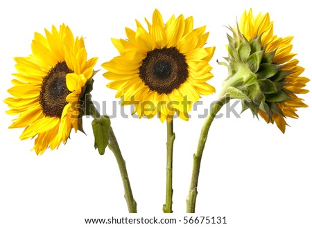 Three fresh sunflowers isolated on white background. Focus on flowers, stems just beyond depth of field. - stock photo