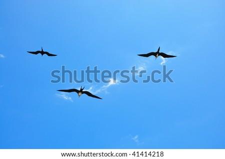Three Frigate Bird flying in a blue sky Galapagos Islands - stock photo