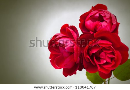 Three garden red roses on green background - stock photo