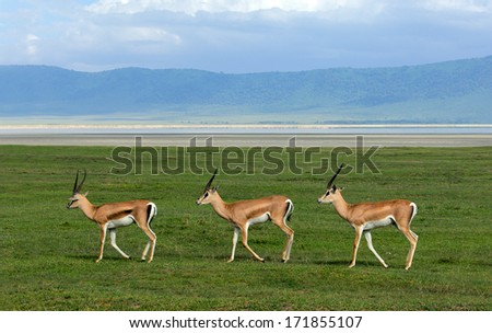 Three gazelles of the grandee synchronously go on a green grass in crater Ngoro Ngoro - stock photo