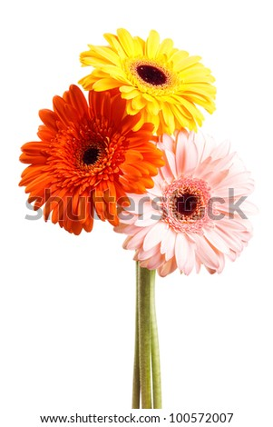 Three gerber flower isolated on white background - stock photo