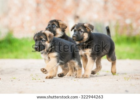 Three german shepherd puppies paying in the yard - stock photo