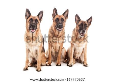 Three German Shepherds over white isolated background - stock photo