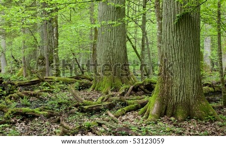 Three giant oaks in natural forest and dead wood in foreground - stock photo