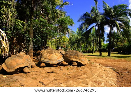 Three giant turtles (Dipsochelys gigantea) sleeping under the palm tree in tropical park in Mauritius - stock photo