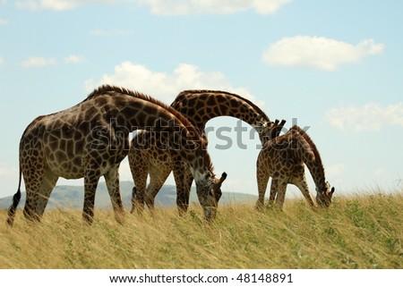 Three giraffe grazing - stock photo
