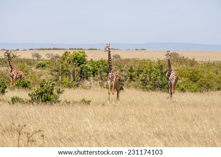 Three giraffe standing in grassland with blue sky background - stock photo