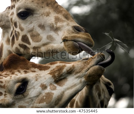 Three giraffe tongues reaching  for leaf - stock photo