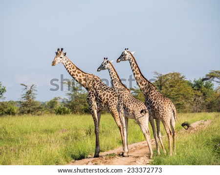 Three giraffes crossing a dirt road in a national park on the savanna in Tanzania, East Africa. Landscape orientation. - stock photo