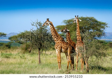 Three giraffes in Serengeti - stock photo
