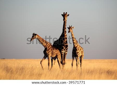 Three giraffes on plain - stock photo