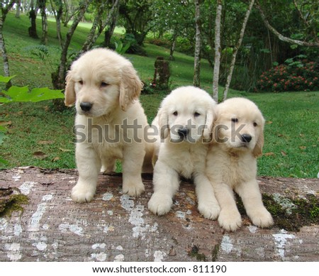 Three golden retriever - stock photo