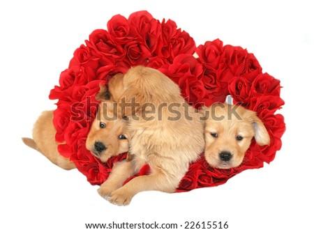 three golden retriever puppies inside heart of roses - stock photo