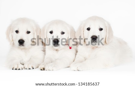three golden retriever puppies lying down - stock photo