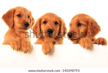 Three golden retriever puppies, studio isolated. - stock photo