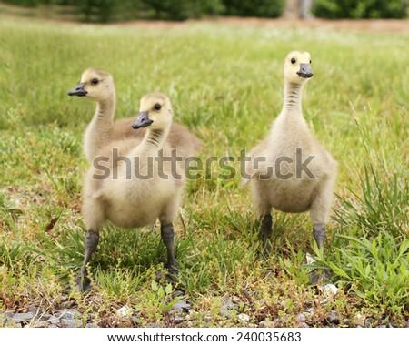Three Goslings - stock photo