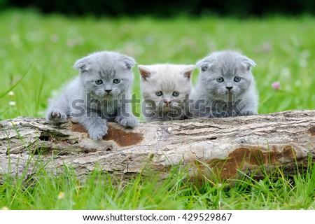 Three gray kitten in the green grass - stock photo