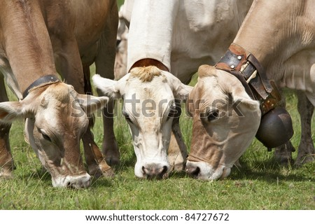 Three grazing brown swiss cows. - stock photo
