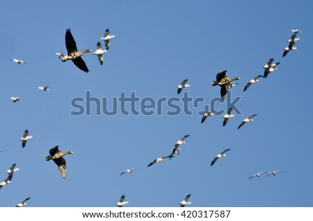 Three Greater White-Fronted Geese Flying Amid the Flock of Snow Geese - stock photo