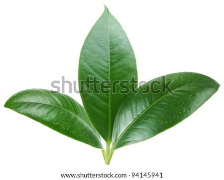 Three green leaf on white background. - stock photo