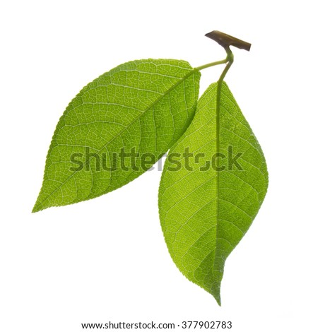 Three green leaves of tree isolated on white background - stock photo