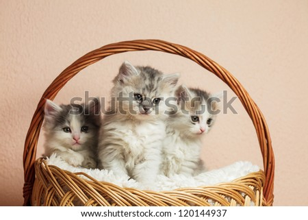 Three grey kittens in a basket with over pink wall - stock photo