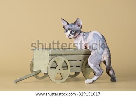 Three hairless kitten sitting in wooden trolley (isolated on beige) - stock photo