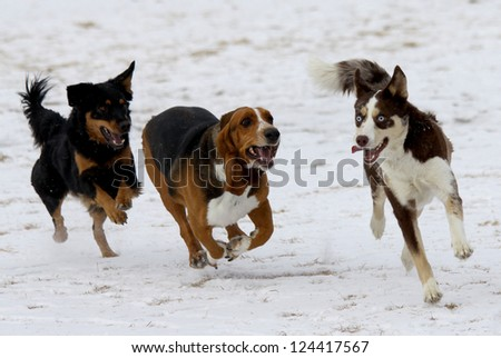 Three happy dogs at a Colorado off-leash dog park, winter. - stock photo