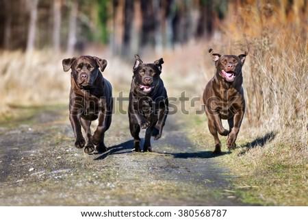 three happy dogs running outdoors - stock photo