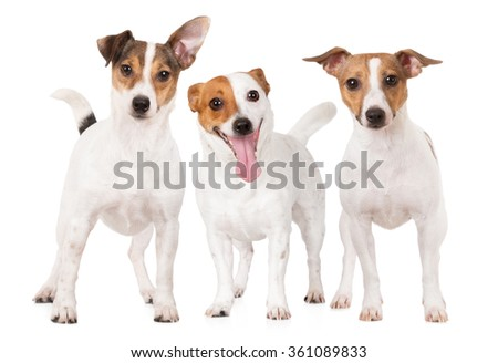 three happy jack russell terrier dogs - stock photo