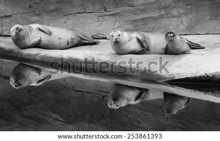 three harbor seals relaxing - stock photo