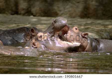 Three hippopotamuses are playing in a pool.   - stock photo