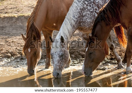 Three horses dink in a pond - stock photo