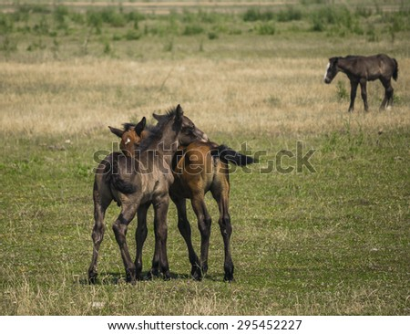 Three horses in nature, two funny horses playing and touching each other with noses and one sad alone horse walking  - stock photo
