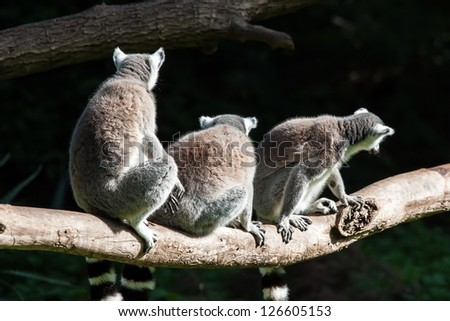 Three in a row sitting ring tailed lemurs - stock photo