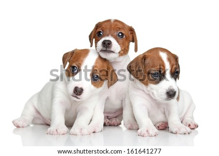 Three Jack Russell terrier puppies posing on white background - stock photo