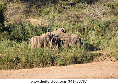 Three juvenile elephants playing next to a dry riverbed in South Africa. - stock photo
